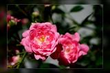 mini climbing rose