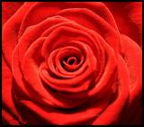 light red rose