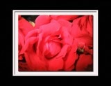 close up roses