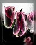 rose solar