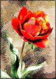Dans tulip
