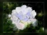 Daves white rose