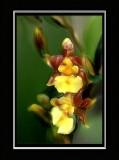 jans orchid