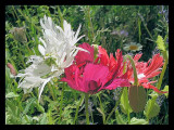 frilly poppies