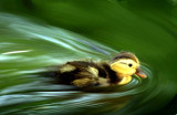pams duckling
