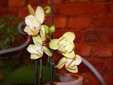 85 cream orchid.jpg