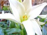 87 lily.jpg