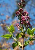 lilacs coming?