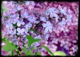 Apr 3 - lilacs on lilacs