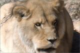 Lioness (F 34)