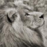 Lion, Oakland Zoo