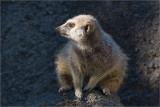 Meerkats, Lemurs  &   Prairie Dogs