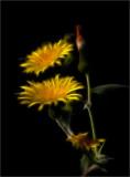 Weeds (F39)
