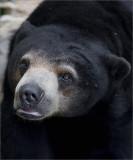 Sun Bears, Oakland Zoo