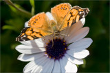 Painted Lady, 2009