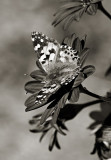 Painted Lady in BW