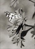 Painted Lady in BW II
