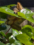 Look Who's Hiding in the Ivy