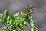 Absolute Checkerspot