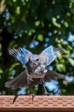 Blackbirds, Crows & Jays