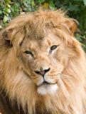 Lion, San Francisco Zoo