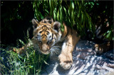 Gallery: Tiger Cubs