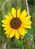 Good Morning Sunflower