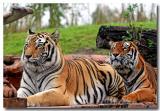 Lazy Tigers at Animal Kingdom