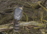 Sharp-shinned Hawk with House Finch