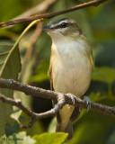 Red-eyed Vireo (Juvenile)