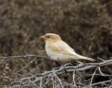Leucistic House Sparrow