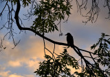 Crow At Sunset