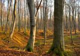 Beech Woods And Glens