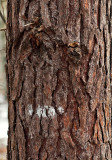 Face Hidden In The Bark