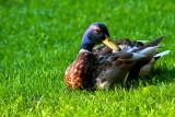 Kwak-Kwak Mister Duck