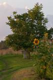 Cross Under Cherry Tree