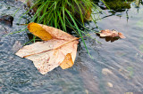 Leaf In The Stream