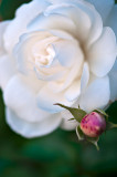 White Rose Of Athens