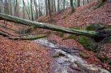 Stream In Beech Forest