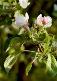 Apple-to-be