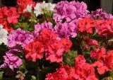 Pelargonium Colors
