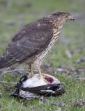 Cooper's Hawk Eating Duck