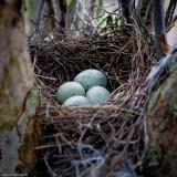 Blue Jay Nest