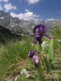 Zwerglilie am Weg zurück zum Cafa Valbones Pass