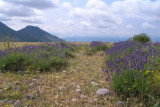 wilder Lavendel.jpg