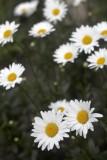 Daisies @f2.8 5D