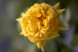 Rose @f2.8 5D