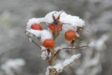 DSC_0881 Rose hips in snow