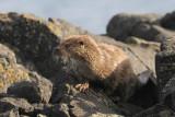Ottercub - Lutra lutra