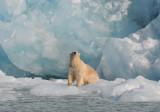 Polarbear - IJsbeer - Ursus Maritimus